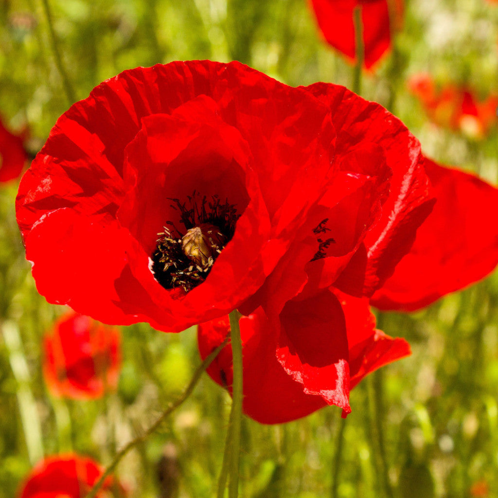 1# Pound Red Corn Poppy Flower Seeds- Papaver Rhoeas - The Dirty Gardener