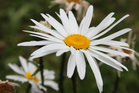 Shasta Daisy Seeds 1/8 Pound Bulk Wildflower Seed