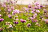 1# of Bulk Crown Vetch Seed- Flowering, Erosion, Forage from The Dirty Gardener - The Dirty Gardener