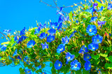 1/2 Pound Morning Glory Heavenly Blue Wildflower Seeds Bulk- covers 20,000 square feet + - The Dirty Gardener