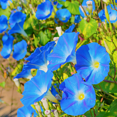 Morning Glory Heavenly Blue Wildflower Seed - Untreated