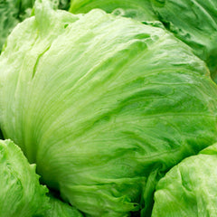 1# Full Pound of Iceberg Heading Lettuce Seeds from The Dirty Gardener - The Dirty Gardener