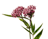 The Dirty Gardener Asclepias Syriaca Common Milkweed, 100 Seeds
