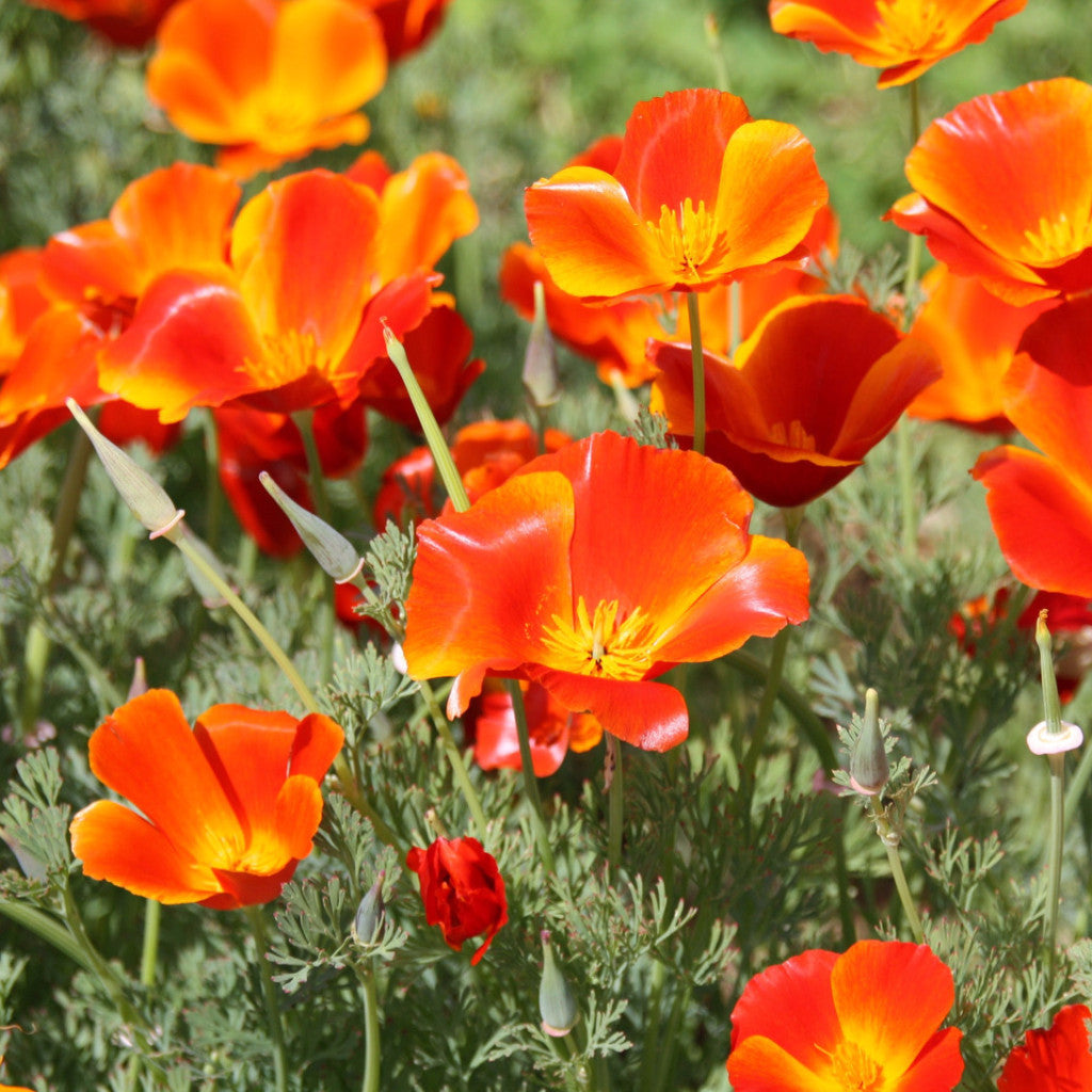 California poppy mikado eschscholzia the dirty gardener 1 lb of california poppy mikado red flower seeds the dirty gardener mightylinksfo