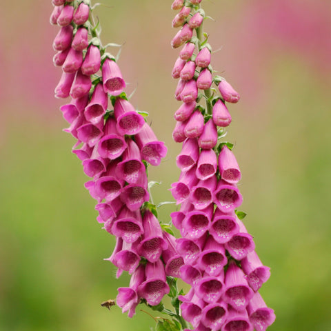 1 LB. (6,200,000+ seeds) Purple Foxglove Flower Seeds Digitalis Purpurea
