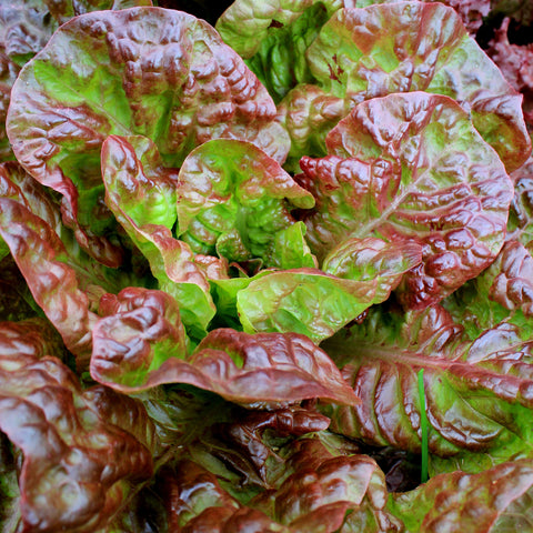 1# of Ruby Red Lettuce Seeds- Heirloom seed