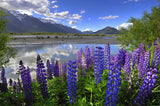 Blue Lupine Wildflower Seed- 1/4# Pound, Lupinus Perennis- Covers 30,000 Square Feet!
