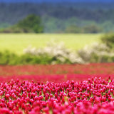 1# Bulk Crimson Clover Seed with Gypsum- Flowering, Cover Crop, Plow Down. - The Dirty Gardener