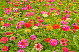1# Pound Zinnia Elegans, California Giant Mix Wildflower Seeds Bulk - The Dirty Gardener