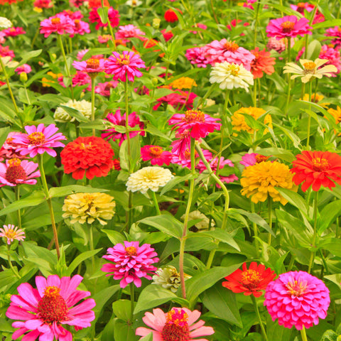 Zinnia Elegans, California Giant Mix