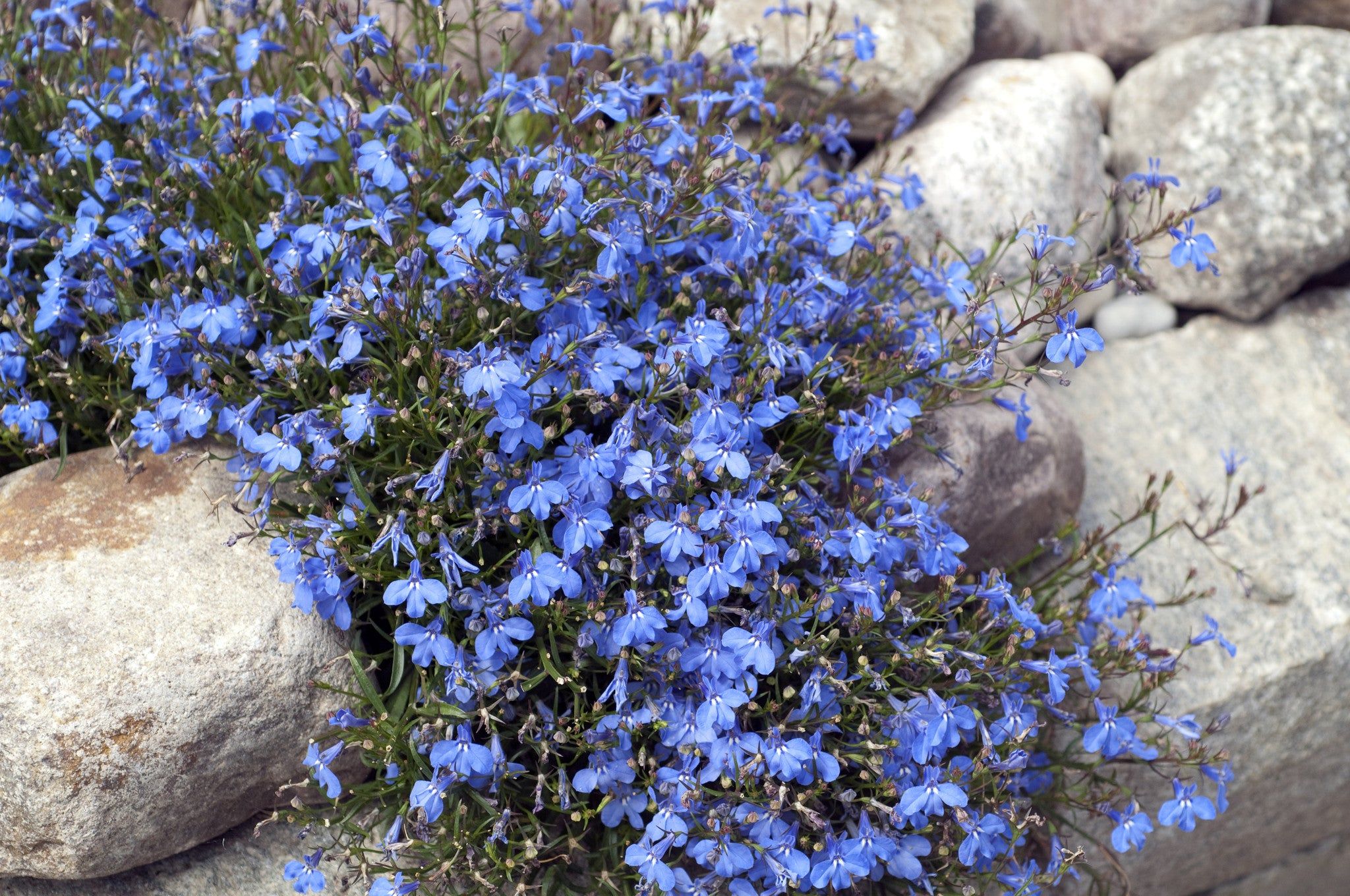 100 Electric Blue & White Half Moon Lobelia Erinus Flower Seeds From The Dirty Gardener