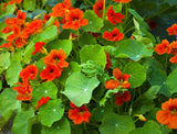 1 oz Nasturtium Bulk Wildflower Seeds (Tropaeolum Majus) From The Dirty Gardener - The Dirty Gardener