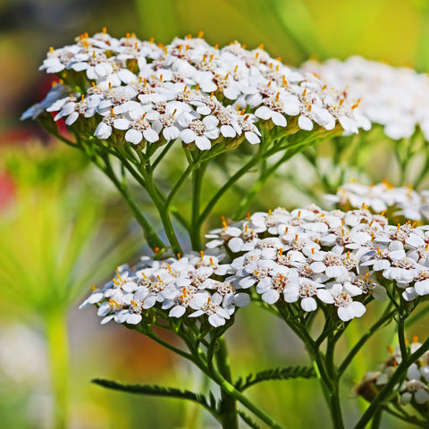 1 Pound of White Yarrow Seeds (Achillea Millefolium) Bulk Wildflower Seeds from The Dirty Gardener