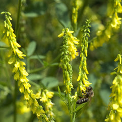 1# Pound of Yellow Blossom Sweet Clover Seed From the Dirty Gardener - The Dirty Gardener