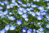 1# Full Pound of Baby Blue Eyes (Nemophila Menziesii) Bulk Wildflower Seeds - The Dirty Gardener
