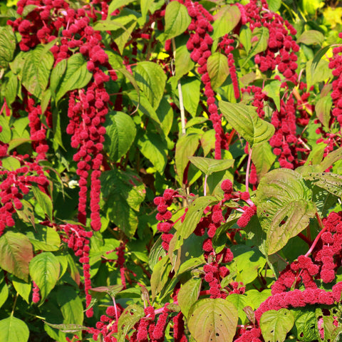 Amaranth, Love Lies Bleeding