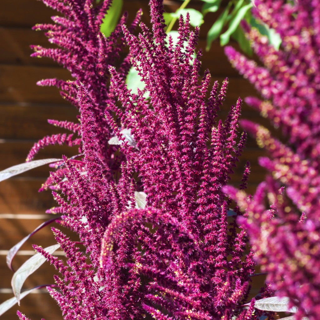 Amaranth, Red Garnett