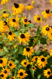 Wildflower Perennial / Annual Seed Kit