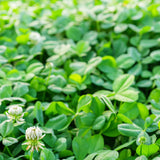 Clover Seed, White Dutch - Raw