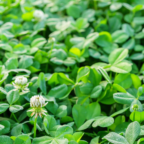 Clover Seed, White Ladino - Inoculated