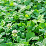 Clover Seed, White