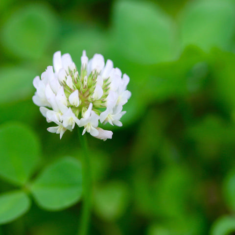 Clover Seed, White New Zealand