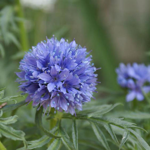 1 Oz Globe Gilia Seeds- Blue Wildflower from The Dirty Gardener