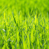 Gateway Kentucky Bluegrass Grass Seed From the Dirty Gardener. Proprietary Variety