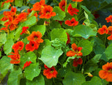 1 Full Bulk Pound Nasturtium Wild Flower Seeds (Tropaelomu Majus) From The Dirty Gardener - The Dirty Gardener