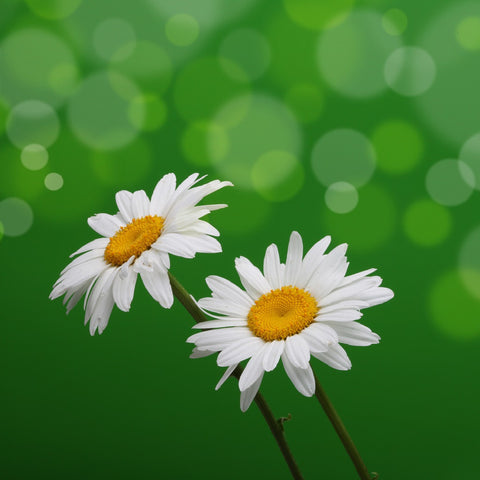 Wildflower Seed, Ox Eye Daisy, Chrysanthemum Leucanthemum
