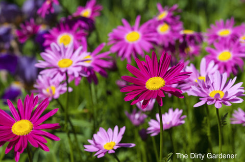 The Dirty Gardener Painted Daisy Flowers - 3,000 Seeds