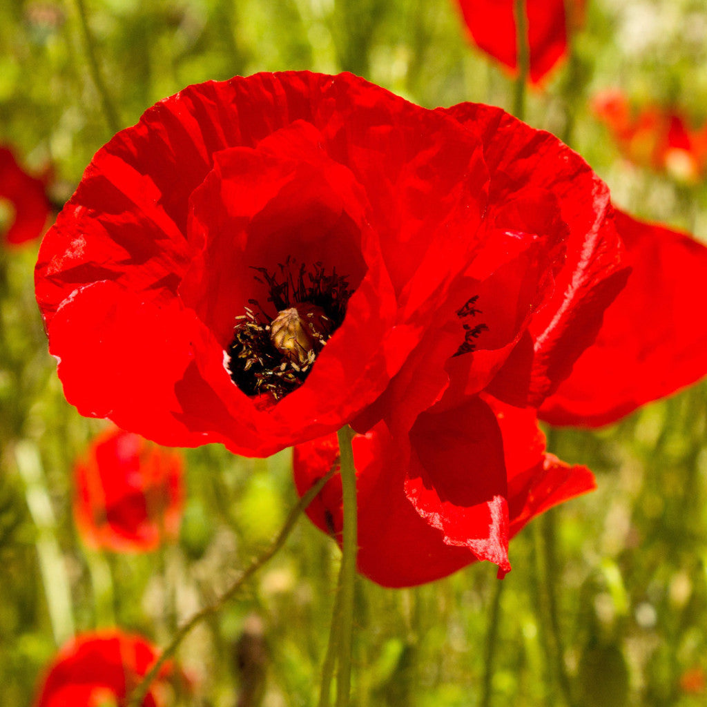 18 Pound Red Corn Poppy Flower Seeds Papaver Rhoeas The Dirty