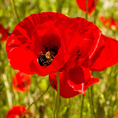1/8# Pound Red Corn Poppy Flower Seeds- Papaver Rhoeas