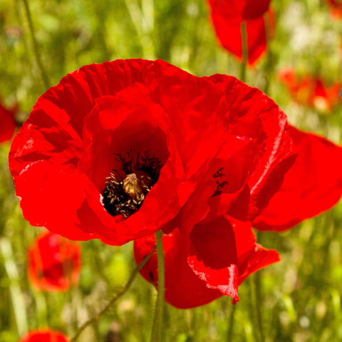 1/2 pound Pound Red Corn Poppy Flower Seeds- Papaver Rhoeas