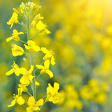 10# Dwarf Essex Rape Seed- Deer, Cattle, Hogs, Wildlife Love It.