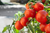 1/4 Pound of Marglobe Heirloom Tomato Seeds. - The Dirty Gardener