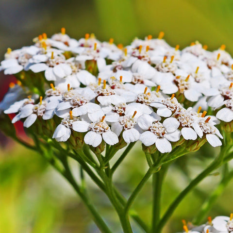 1/4 Pound of White Yarrow Seeds (Achillea Millefolium) Bulk Wildflower Seeds