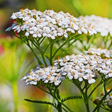 1/2 Pound of White Yarrow Seeds (Achillea Millefolium) Bulk Wildflower Seeds - The Dirty Gardener