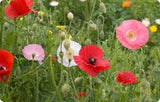 The Dirty Gardener Papaver Rhoeas Double Shirley Poppy Mix, 500,000 Seeds
