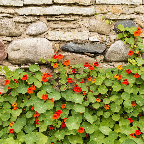 1 oz Nasturtium Bulk Wildflower Seeds (Tropaeolum Majus) From The Dirty Gardener