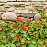 1/2 Pound Nasturtium Bulk Wildflower Seeds (Tropaeolum Majus) - The Dirty Gardener