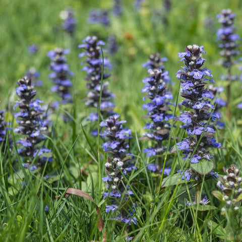 1 Oz Self-Heal Flower Seed Prunella Vulgaris From The Dirty Gardener