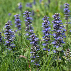 1 Oz Self-Heal Flower Seed Prunella Vulgaris From The Dirty Gardener - The Dirty Gardener