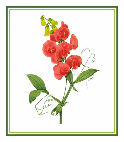 Sweet Pea Flower Inspired By Pierre-Joseph Redoute Counted Cross Stitch Pattern