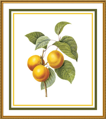 Apricots Botanical Inspired by Pierre-Joseph Redoute Counted Cross Stitch or Counted Needlepoint Pattern