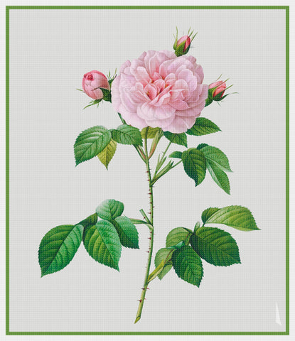 Botanical Redoute's Rosa Alba Regalis Rose Flower Counted Cross Stitch Pattern