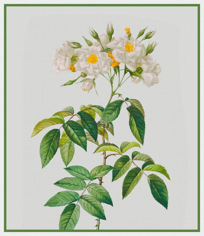 Botanical Redoute's Rosa Alba Moschata Pleno Flower Counted Cross Stitch Pattern