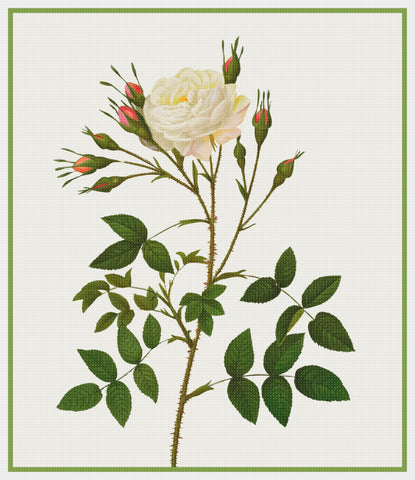 Botanical Redoute's Rosa Alba Rosenbergiana Flower Counted Cross Stitch Pattern
