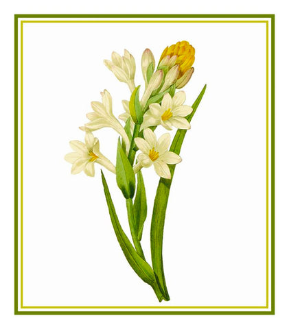 Tuberose Flower Illustration inspired by Pierre-Joseph Redoute Counted Cross Stitch Pattern