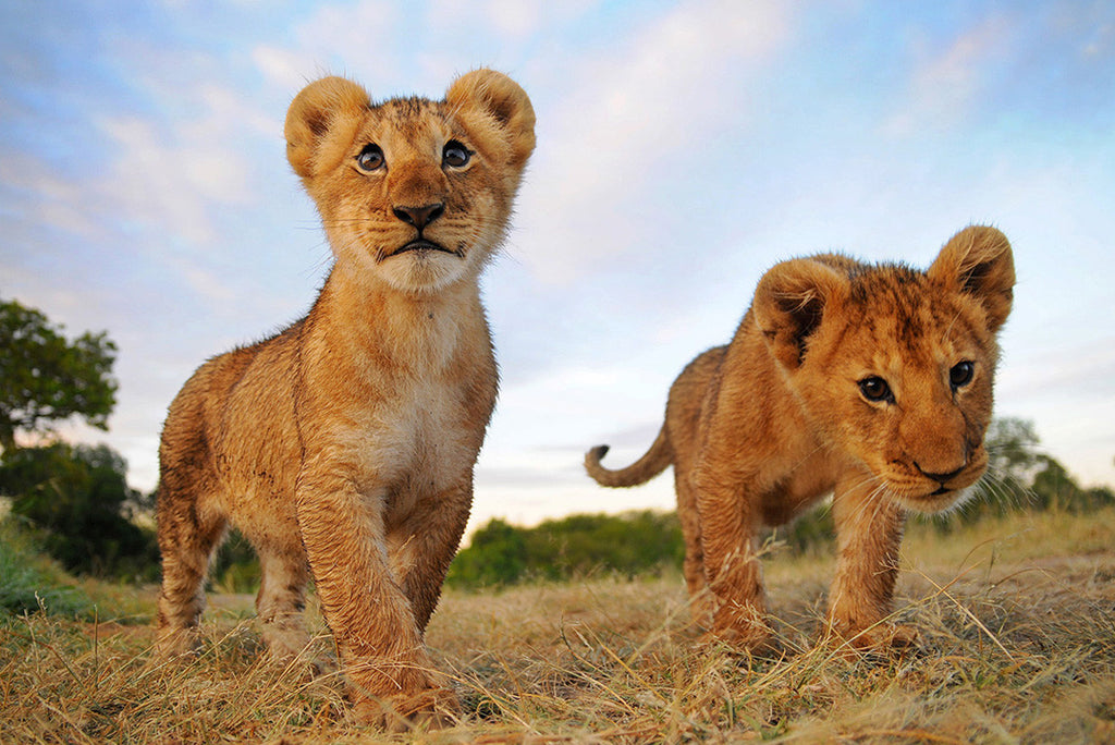 What does the Endangered Species Listing do for Lions?